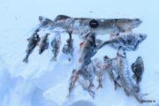 Улов на снегоходном туре в экспедиционном формате по северной Карелии