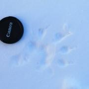 След росомахи на снегоходном туре в Карелии