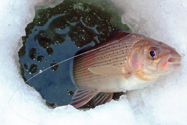 Хариус. Зимняя рыбалка в Карелии