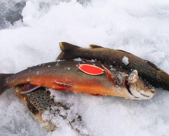 Рыба на Кольском полуострове